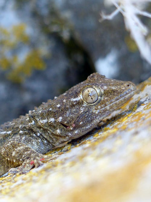 Lizard covered with dry skin with scale crawling on stony surface covered with moss in nature with rocky cliff on blurred background