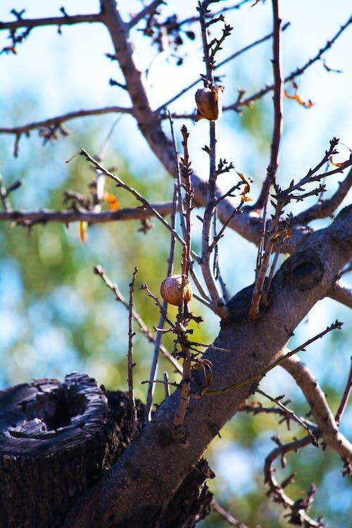 Free stock photo of almond, almond tree, branches