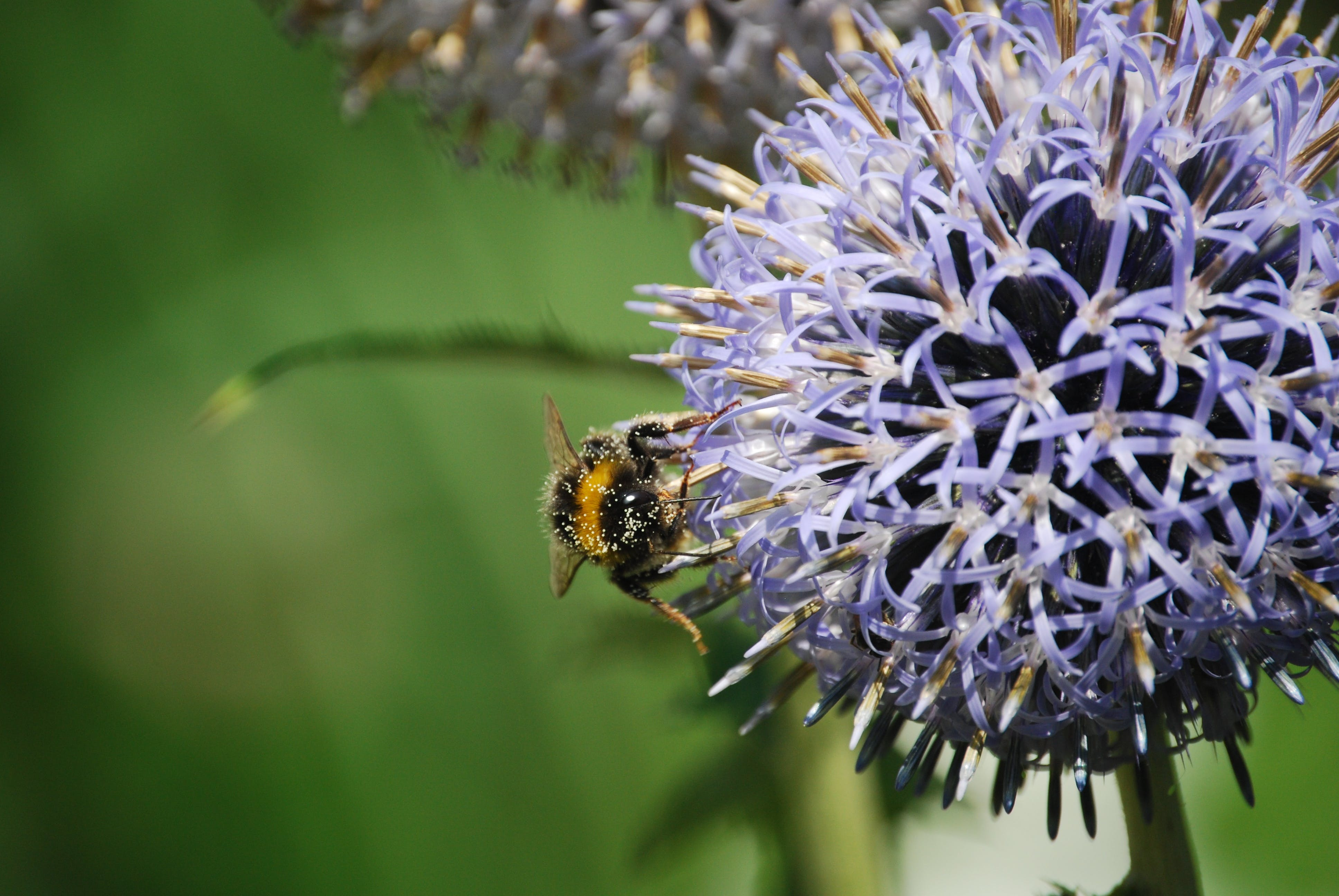 Free stock photo of nature, flowers, purple, bee