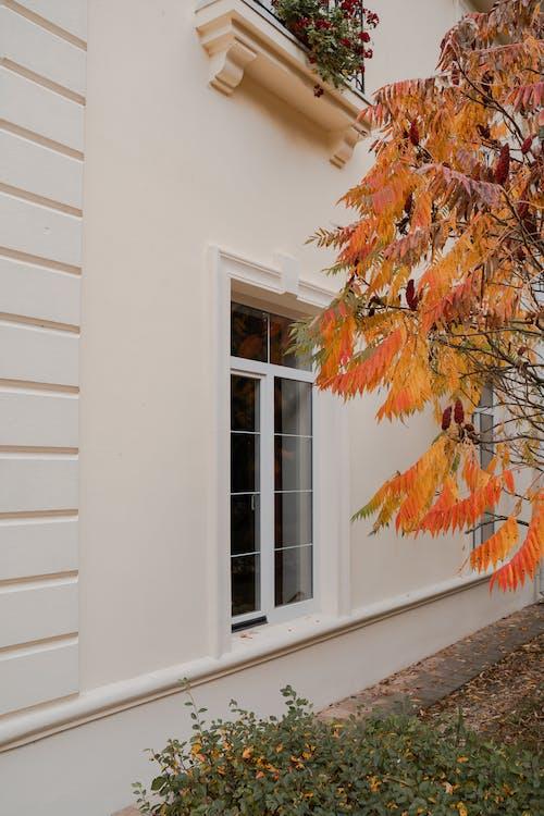 Brown Maple Tree Near White Wooden Window