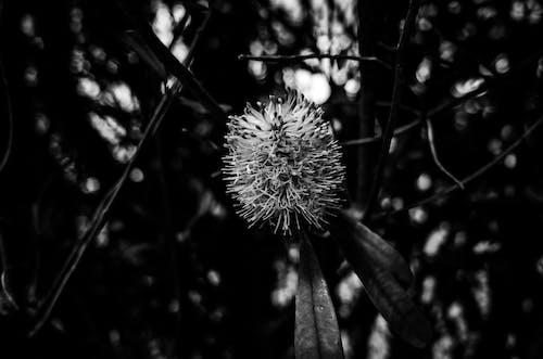 Kostnadsfri bild av banksia, blomma, svartvitt