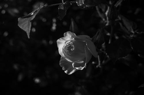 Kostnadsfri bild av ros, svartvitt