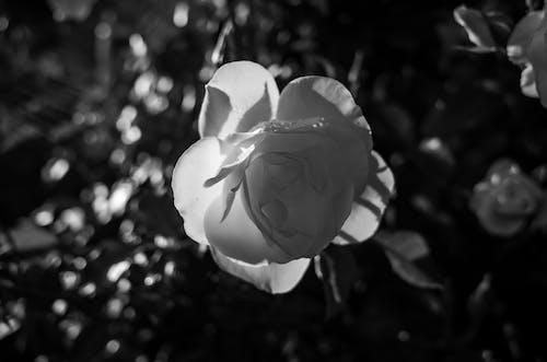 Kostnadsfri bild av blomma