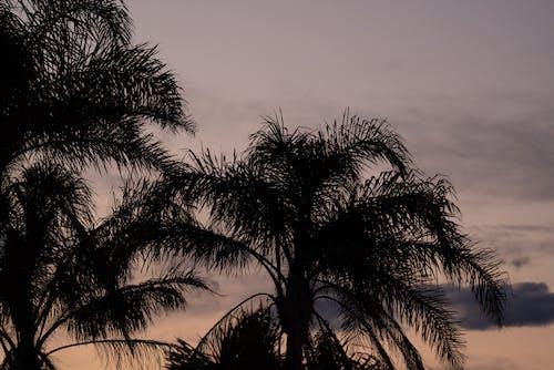 Palme, Die Im Abendhimmel Wächst