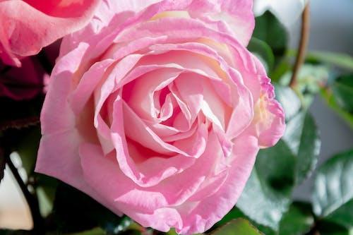 Free stock photo of beautiful flower, pink, pink rose