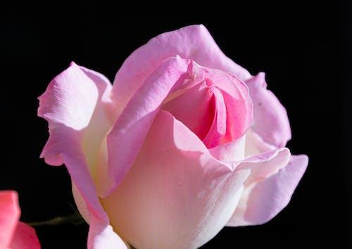 Free stock photo of pink rose