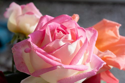 Free stock photo of beautiful flower, pink, roses