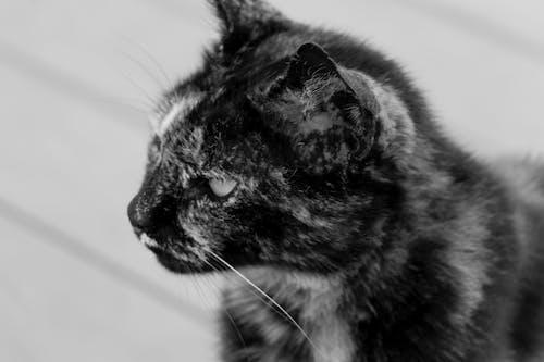 Gratis lagerfoto af bw, dyr, dyrefotografering, kat