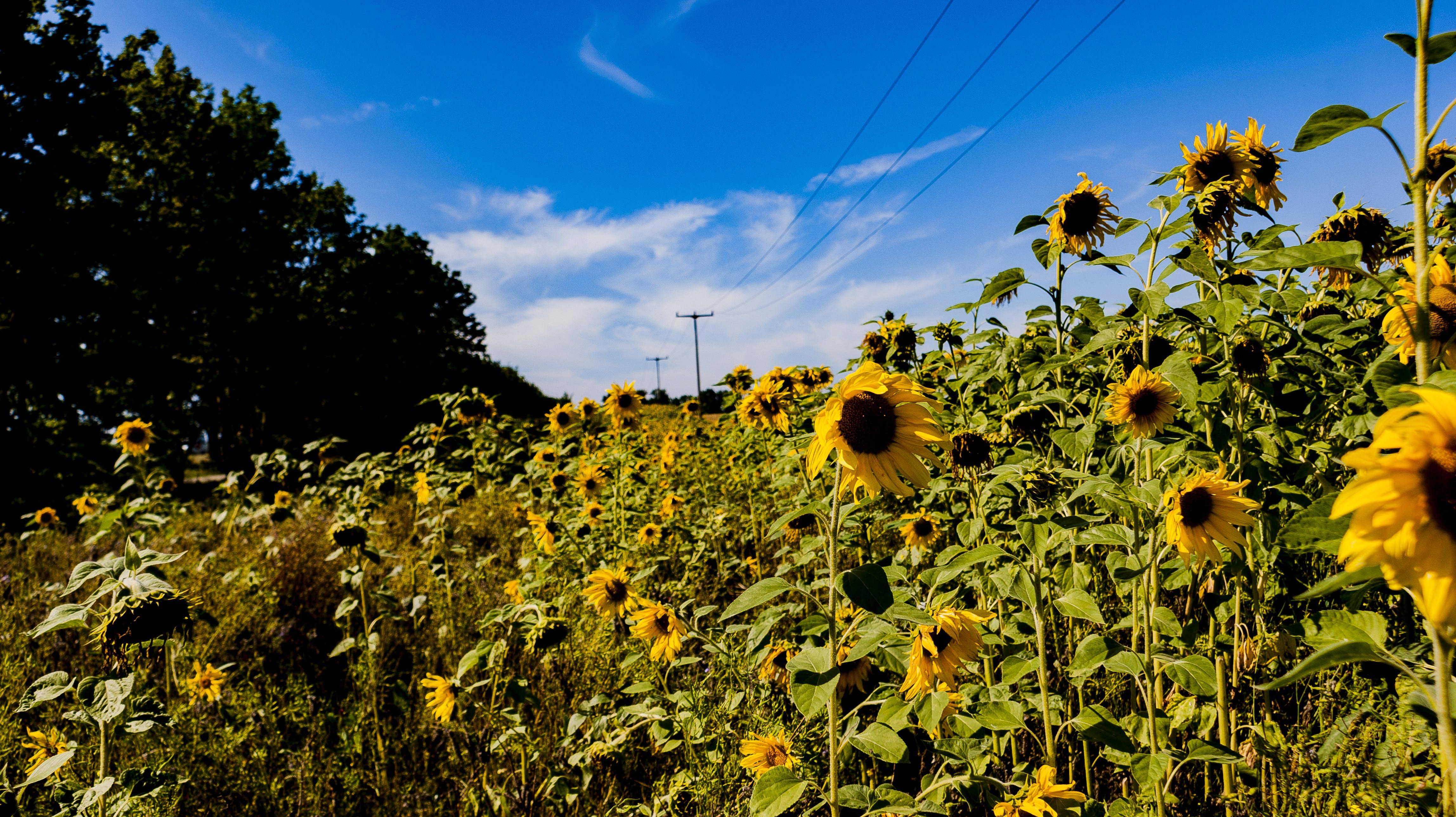Kostenloses Stock Foto zu landschaft, sonnenblumen