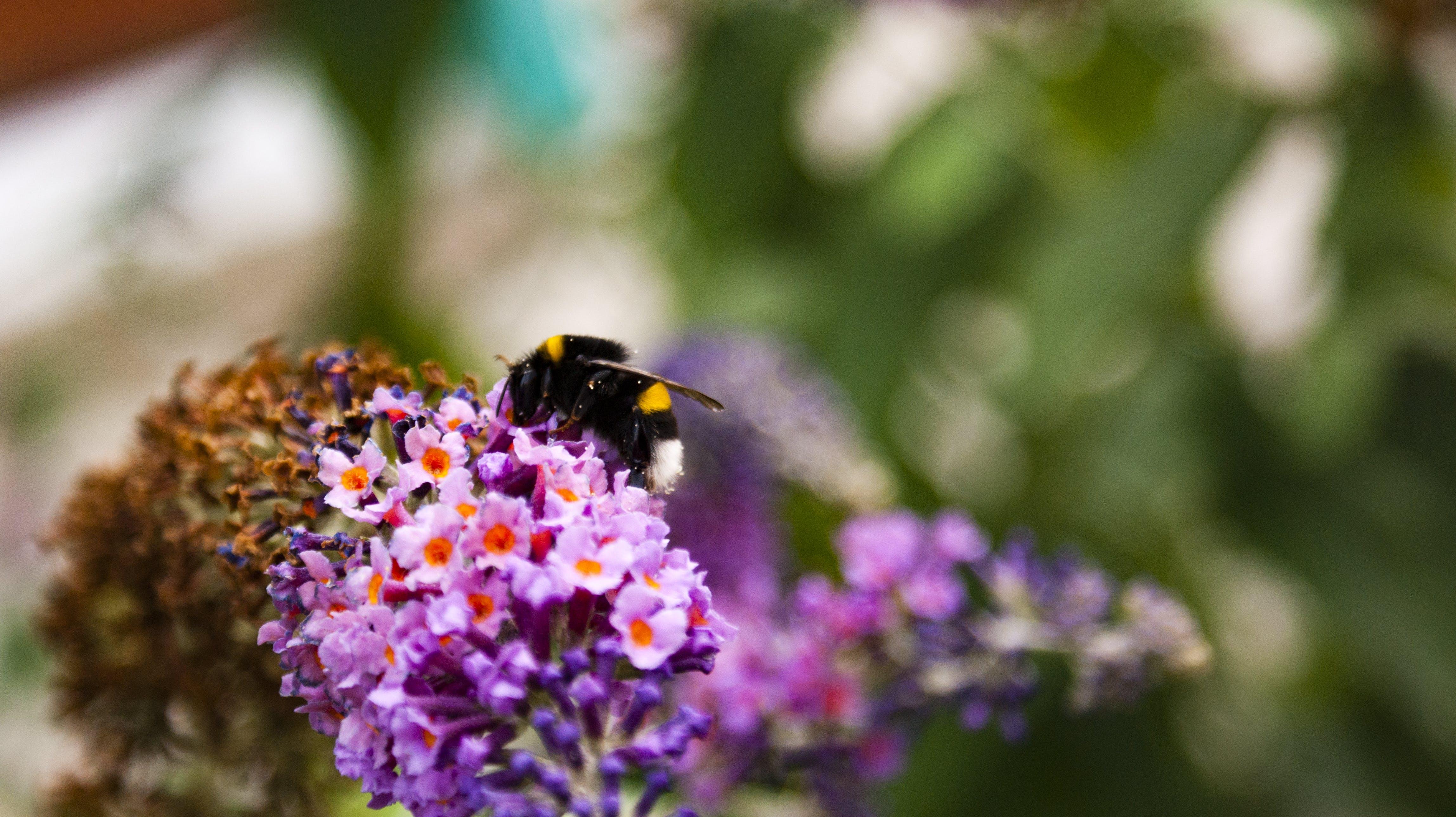 Free stock photo of bumblebee, flower