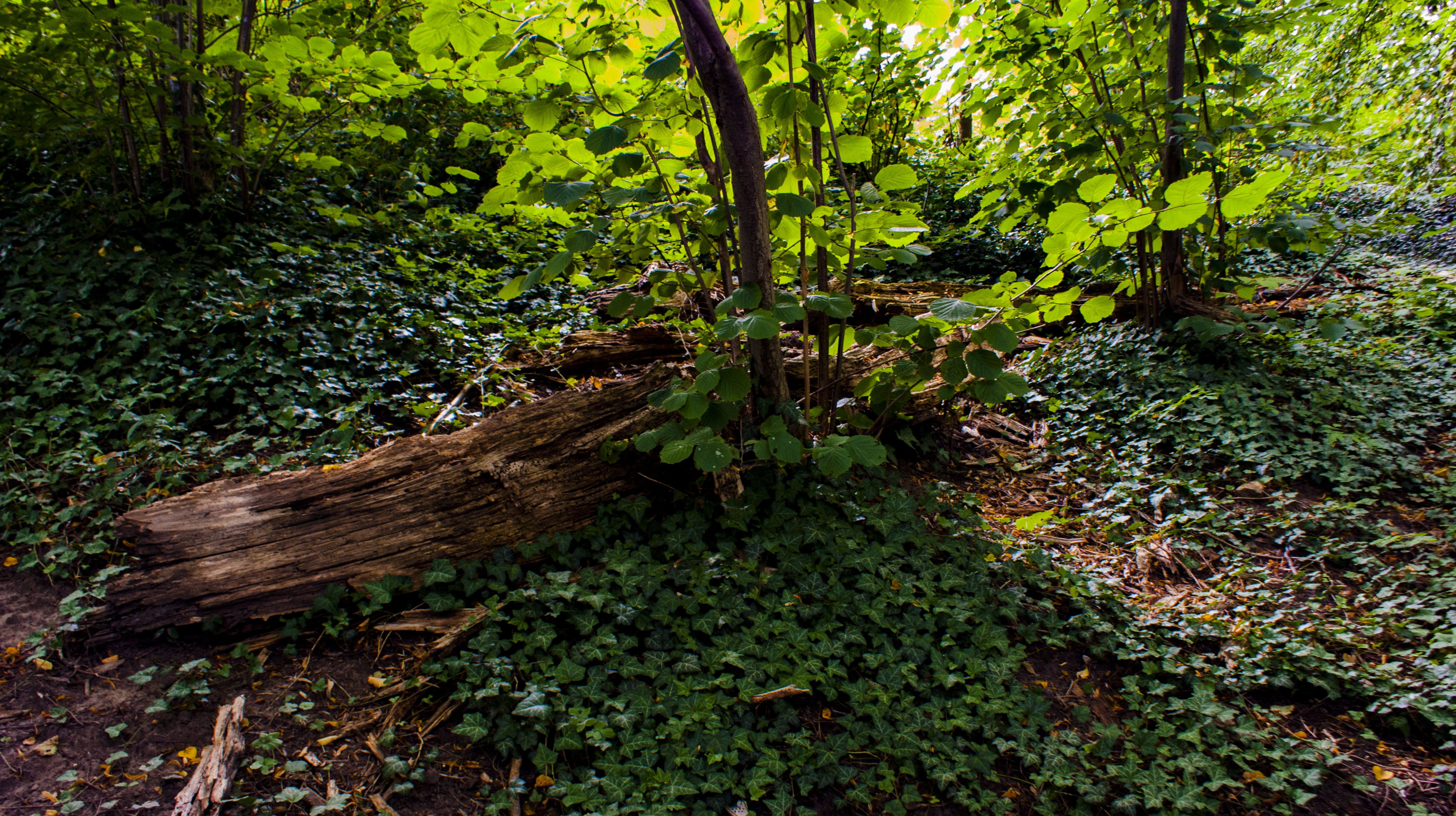 Free stock photo of forest, forest floor, ivy, tree