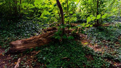 Ilmainen kuvapankkikuva tunnisteilla metsä, metsänpohja, muratti, puu