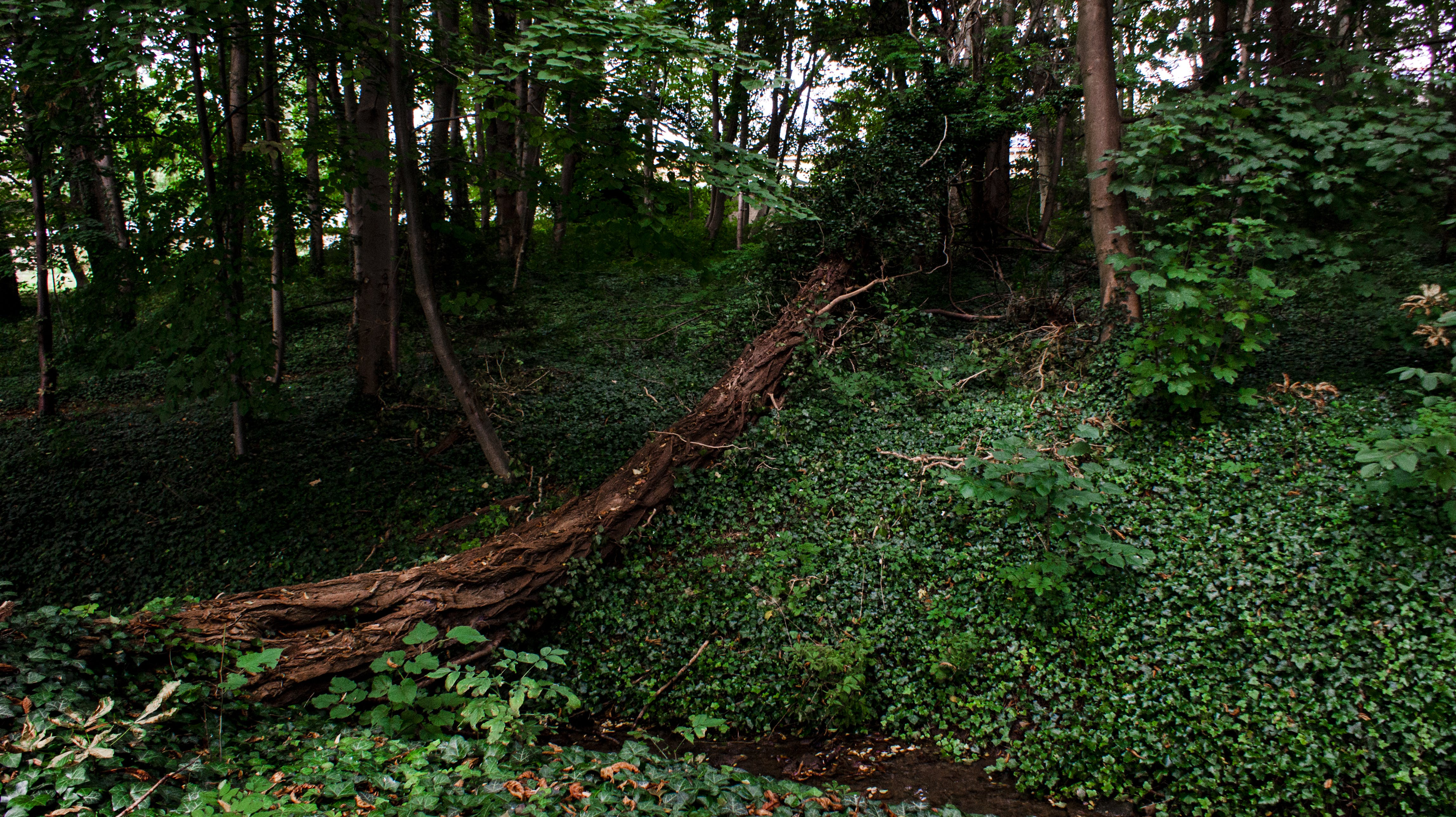 Free stock photo of fallen trees, forest, forest floor, ivy