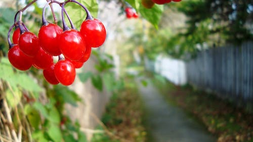 Free stock photo of red cherries