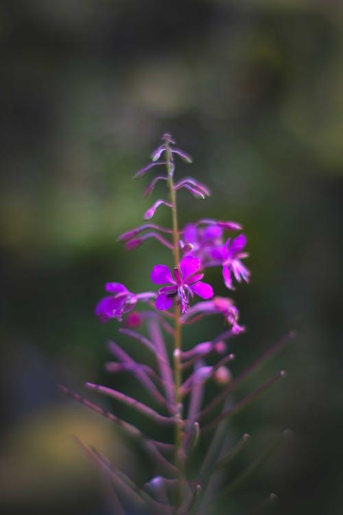 Bright purple rosebay willowherb flower growing in meadow