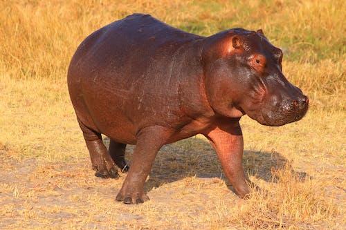 Hippo on Grass Field