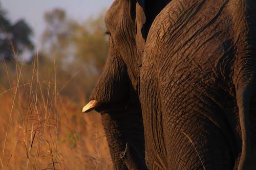 アフリカ, アフリカゾウ, アフリカ産の無料の写真素材