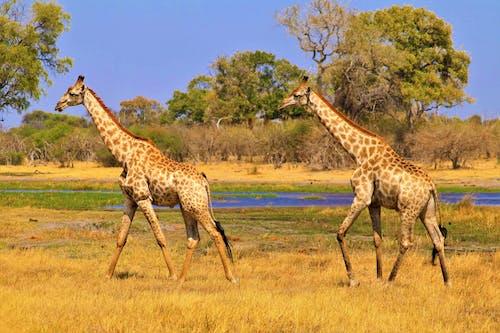 アフリカ, オカバンゴ, キリンの無料の写真素材