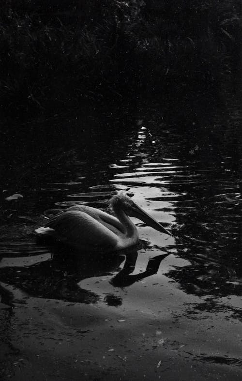 Grayscale Photo of Swan on Water