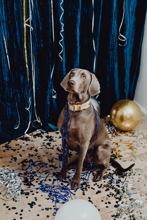 Fotos de stock gratuitas de animal, Año nuevo, canino