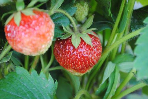 Free stock photo of berry, garden, green