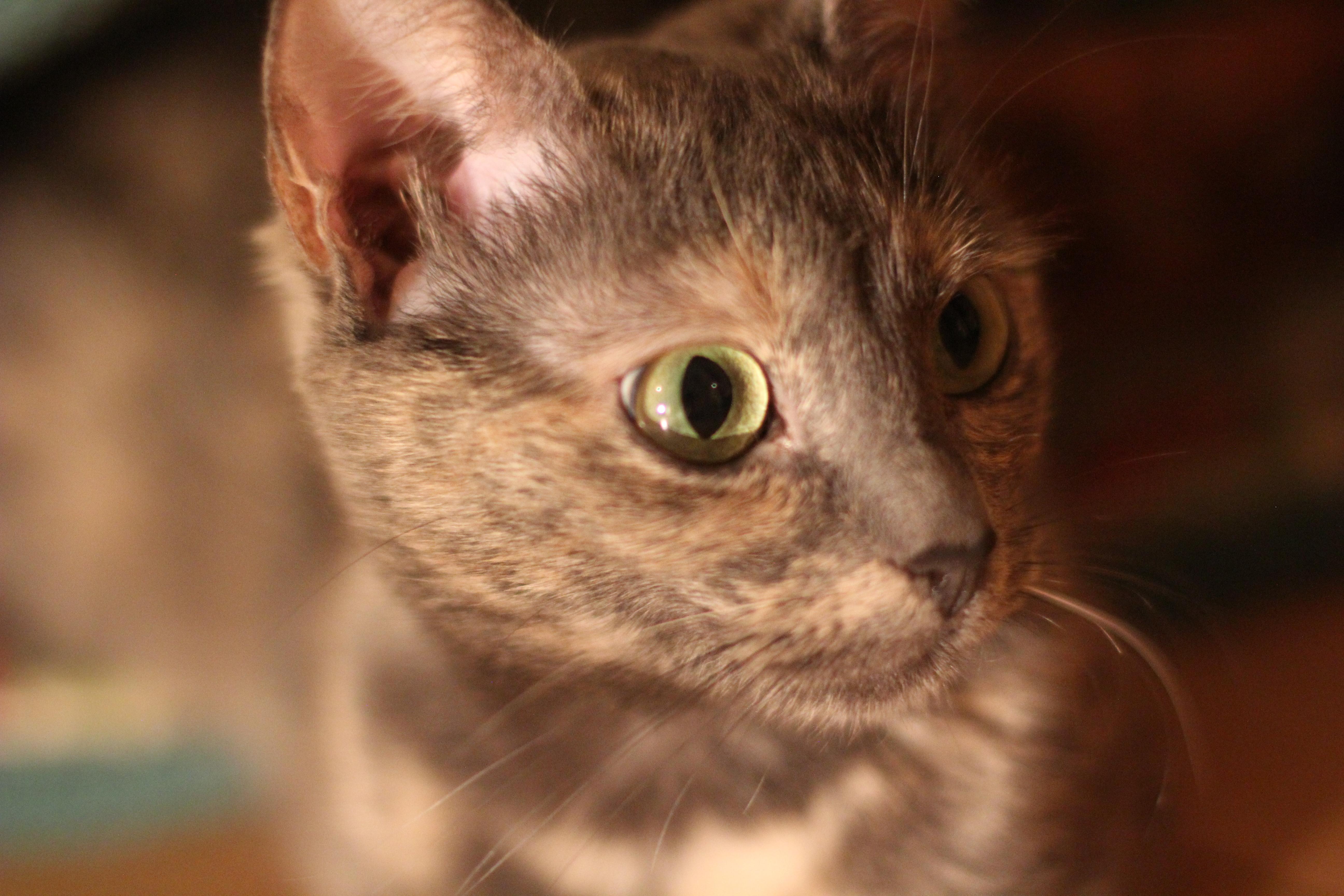 mačička a kohút spreadin mačička