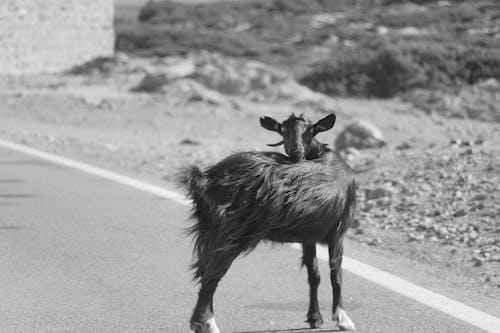 Gratis lagerfoto af dyr, Grækenland, køretur, santorini