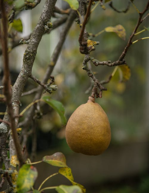 Close-Up Shot of a Pear on a Tree