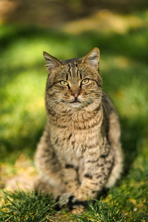 Close-Up Shot of a Domestic Short-Haired Cat Sitting on the Grass