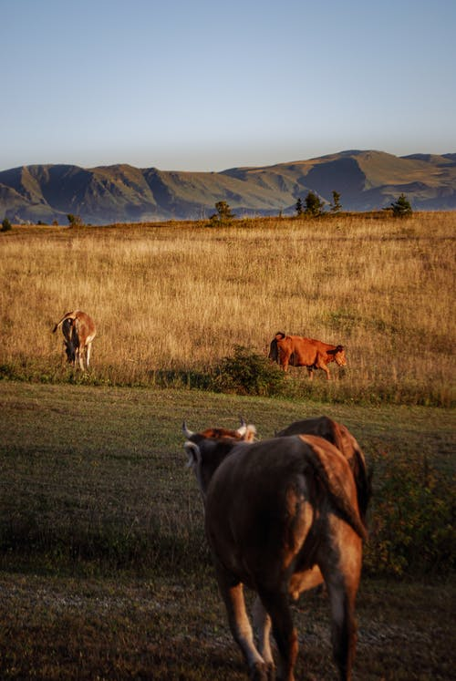 Cows on a Grassy Field