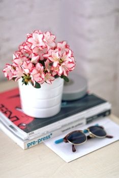 Azalea in a white pot