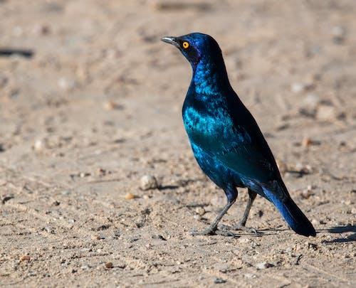 Blue Bird on Brown Soil