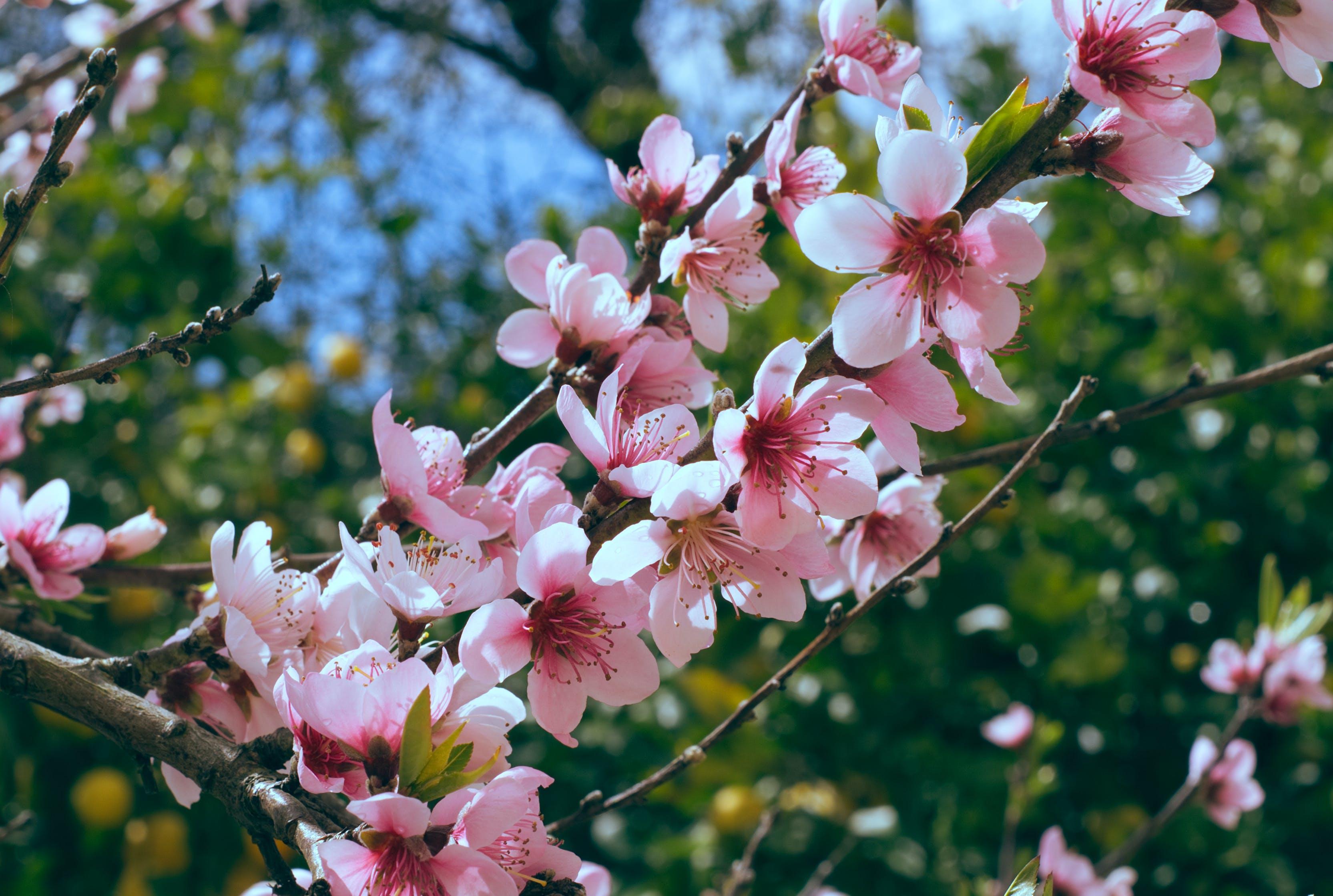 Fotobanka sbezplatnými fotkami na tému čerešňové kvety, detailný záber, flóra, jemný