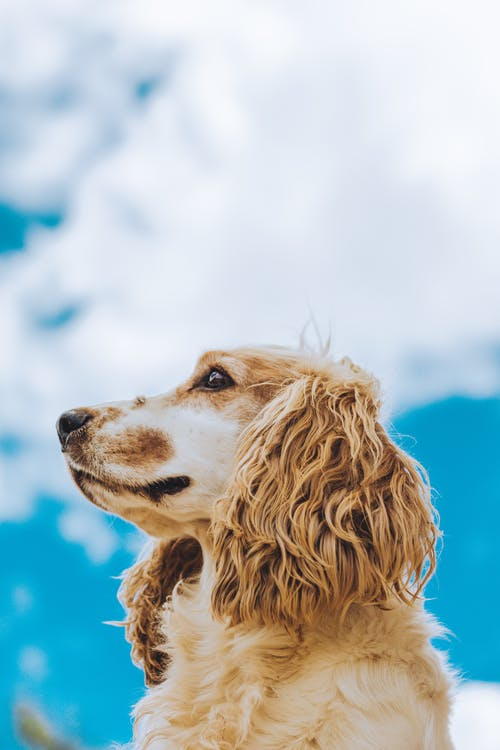 Golden fluffy dog under blue sky