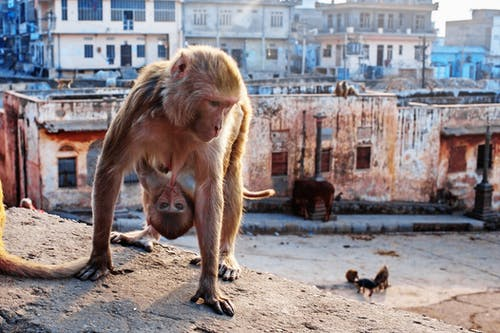 Monkey with baby on city roof