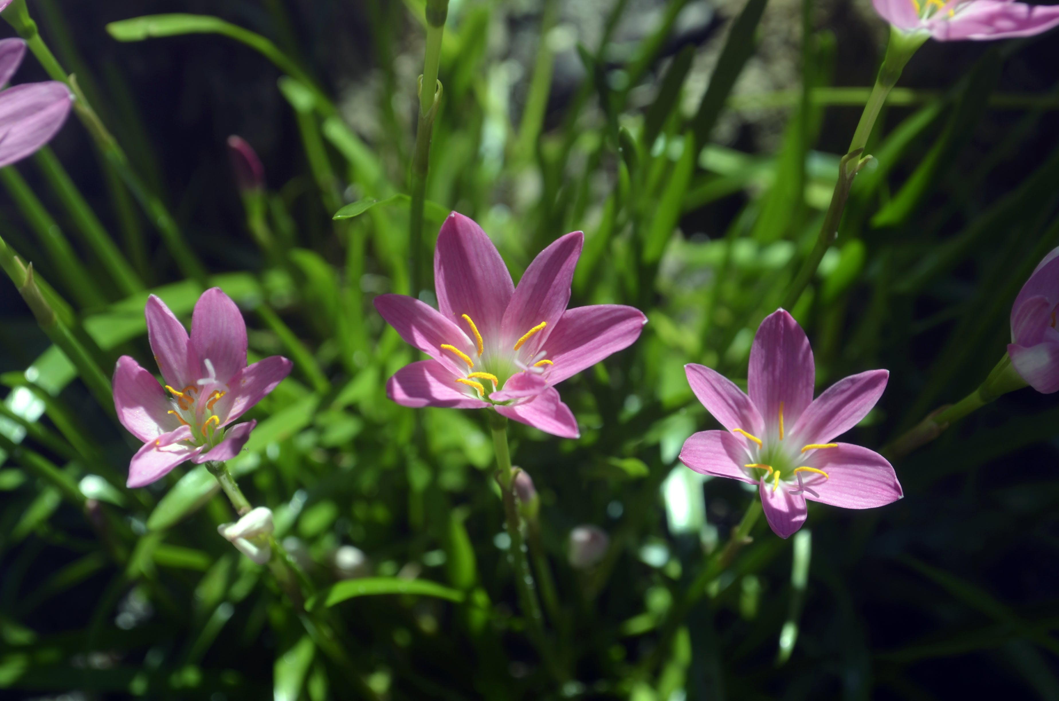 Free stock photo of beautiful flowers, flowers, pink, pink flower