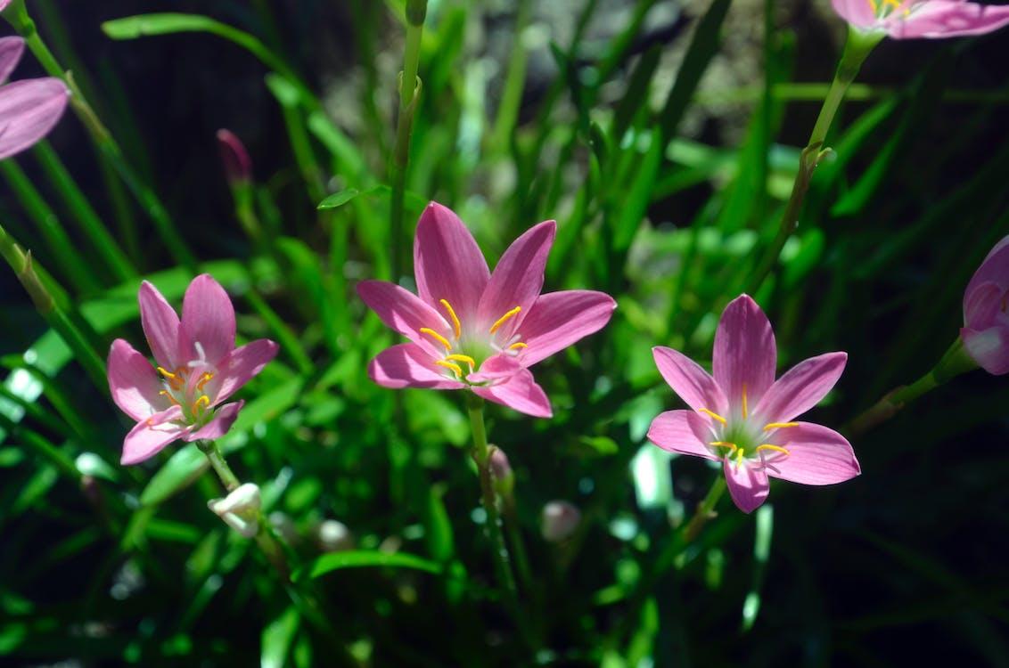 Free stock photo of beautiful flowers, flowers, pink flower