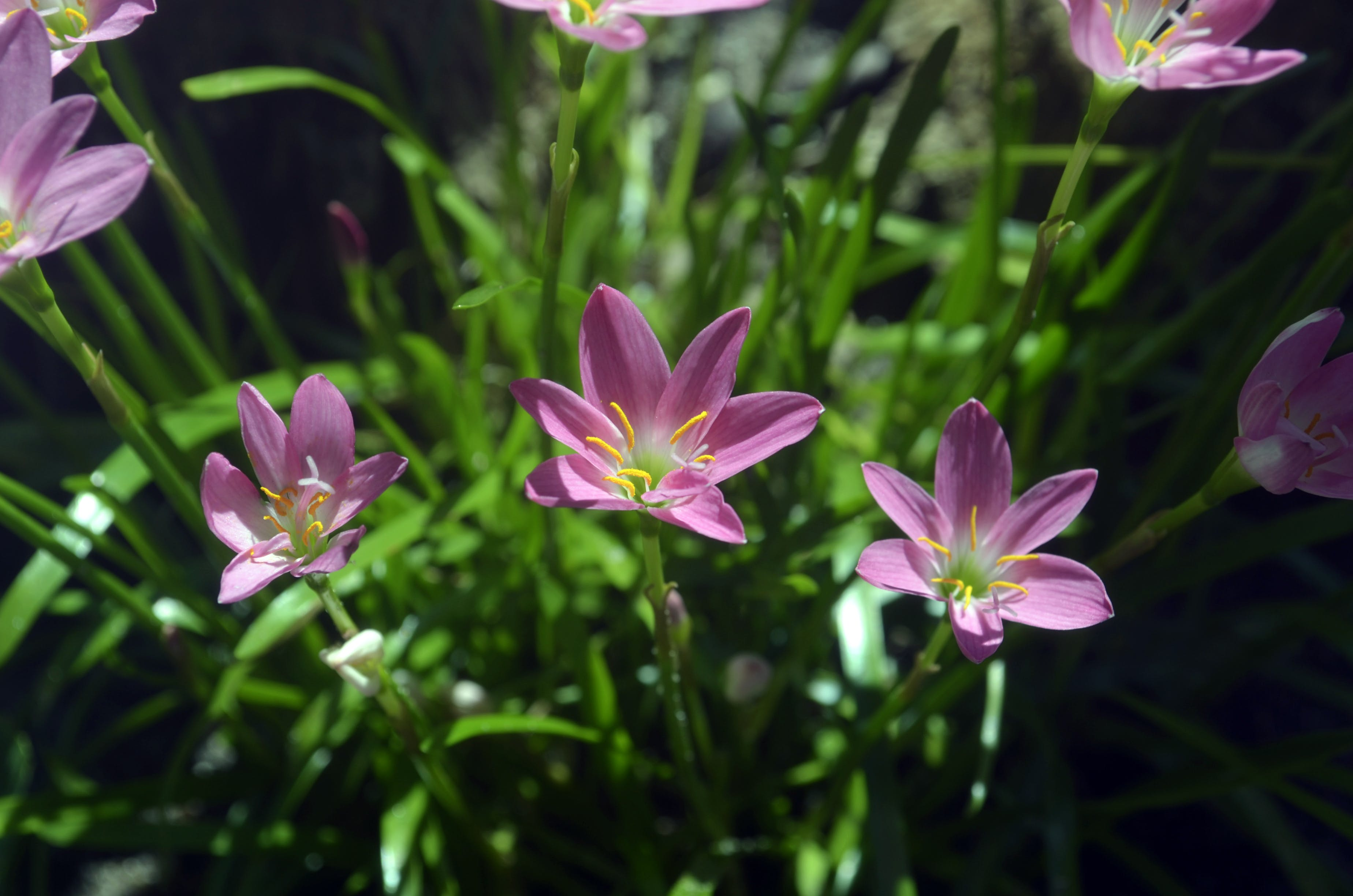 Free stock photo of beautiful flowers, flowers, pink, pink flowers