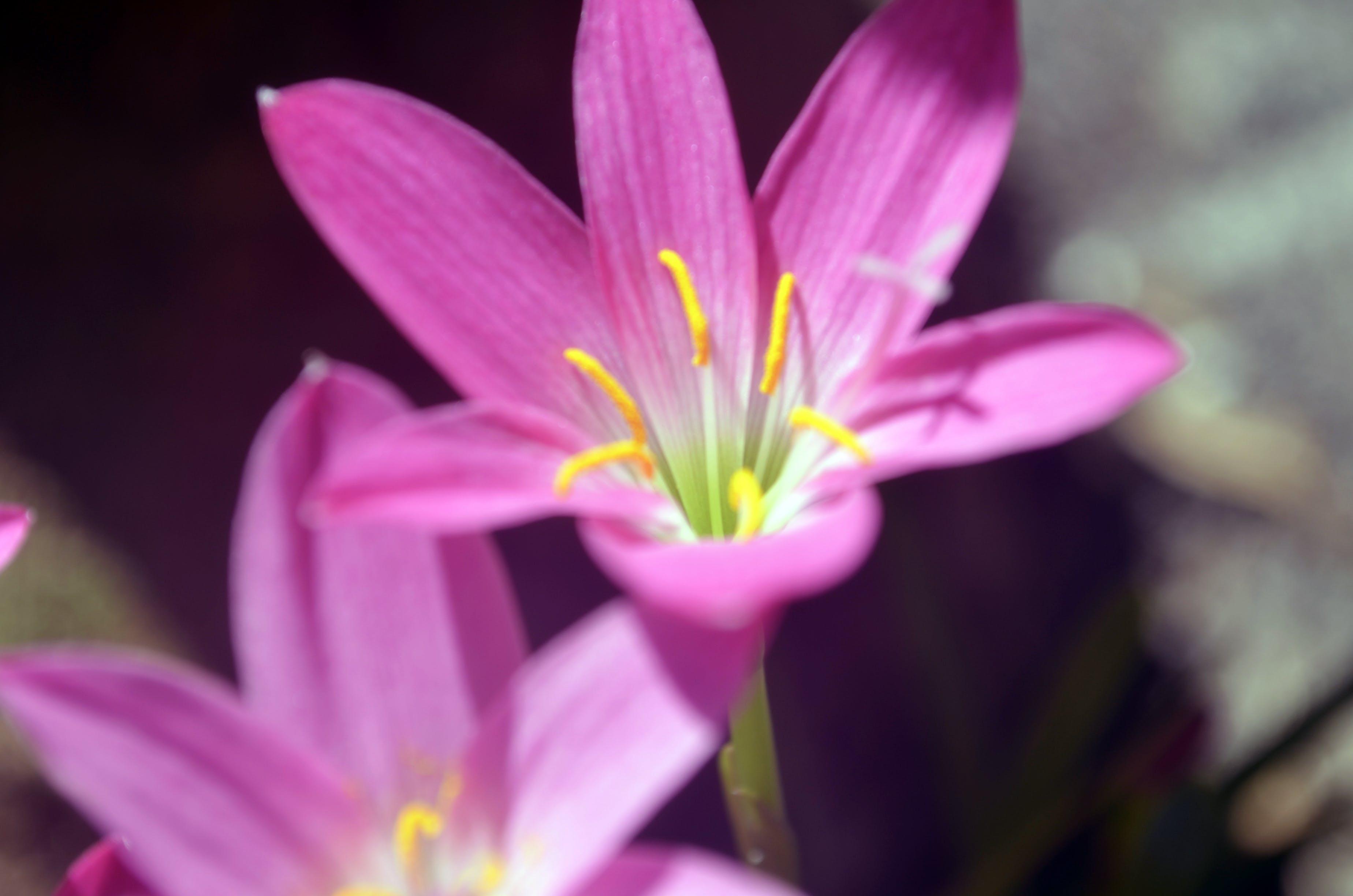 Free stock photo of beautiful flowers, flower, flowers, pink