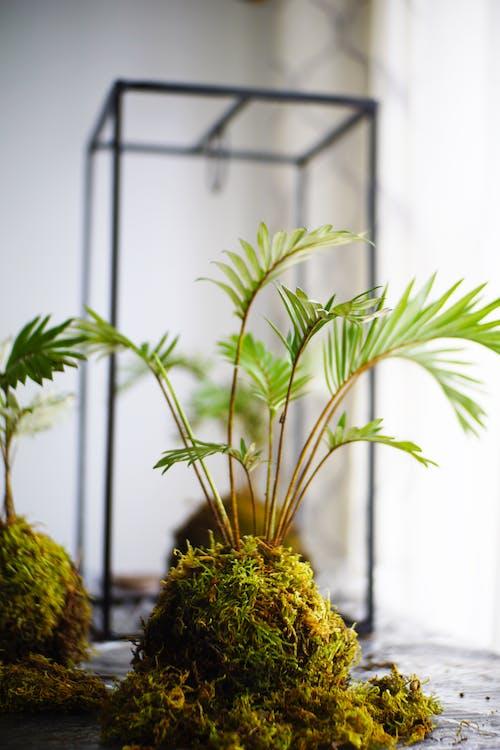 Free stock photo of green leaves, Kokedama, moss balls