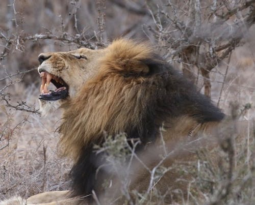 Free stock photo of africa, king, lion