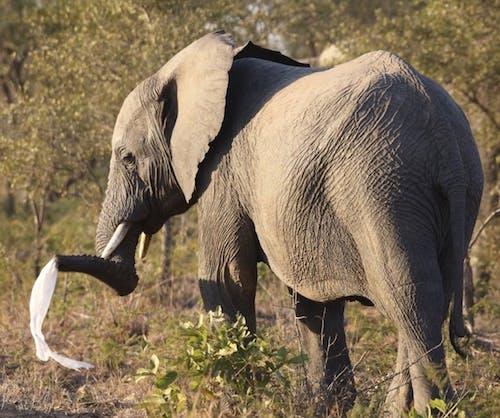 Free stock photo of african elephant, baby elephant, elephant