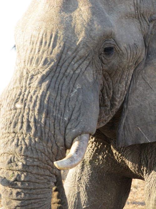 Free stock photo of african elephant, elephant, elephant tusks