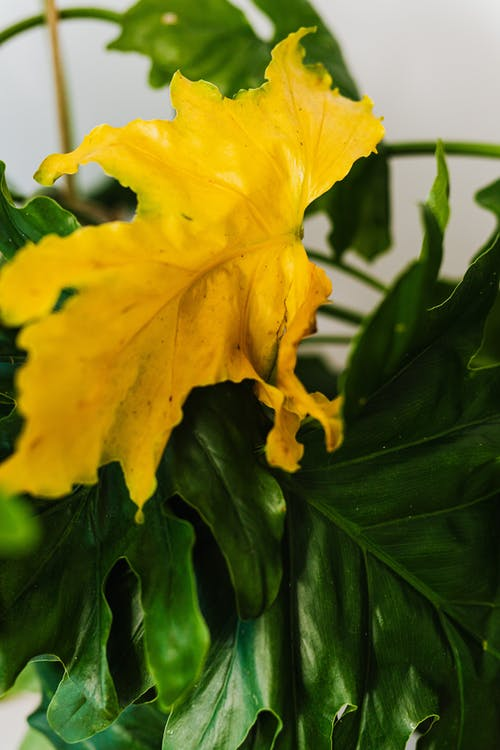 Yellow Leaf in Close Up View
