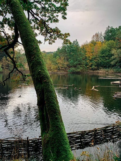 Picturesque view of tranquil pond with ducks rippling surrounded by green coniferous and yellow trees on cloudy autumn day