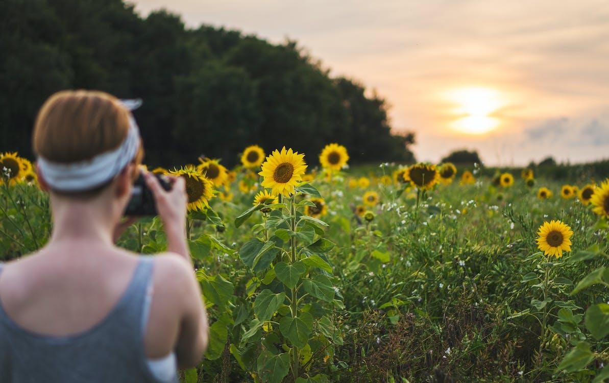 Woman Taking Photo of Sunflower Fields