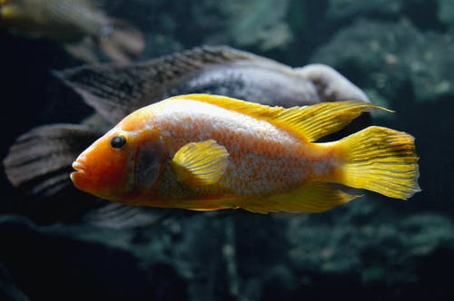 Side View Photo Of A Goldfish