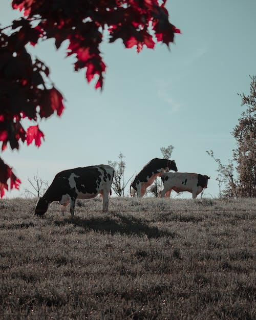 Základová fotografie zdarma na téma hospodářská zvířata, hřiště, krávy