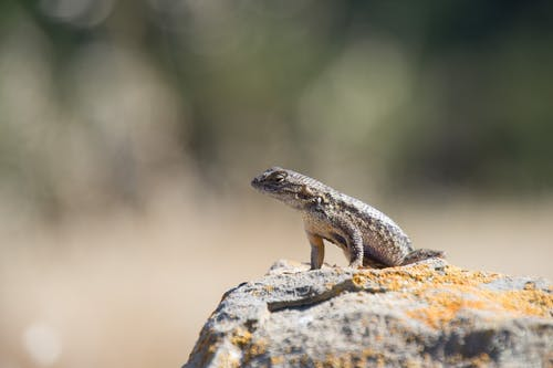 Photos gratuites de animal, caillou, lézard, lézard assis sur un rocher