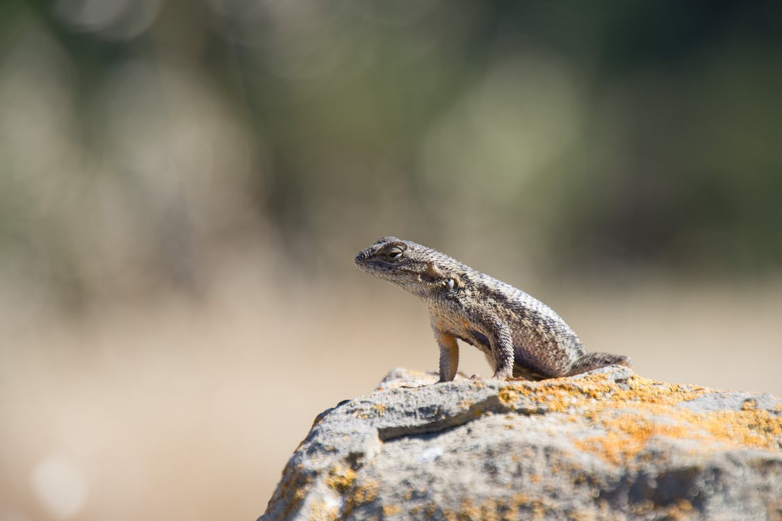 animal, lagartija, lagarto sentado en la roca